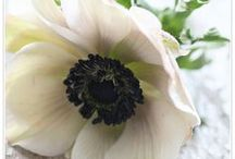 Anemones / Beautiful early season flowers, perfect for winter weddings. Grow under cover for early flowering. Anemones, spring flowers, winter flowers, anemone bouquets, wedding flowers, table arrangements