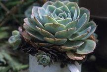 * Succulent *
