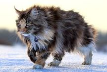 Maine Coon / Intelligent Ambitious Independent