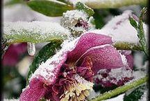 Hiver végétal ... / Lorsque l'hiver enveloppe la nature sous la neige , le gel ....