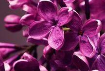 couleur : pourpre / pourpre , parme , violet , violine , ses teintes si chaudes et si lumineuses , impossible d'y échapper ...
