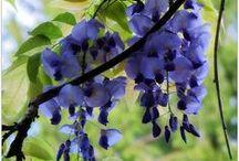 Glycine / Plante superbe , volubile et grandiose , parfumée et délicate ...
