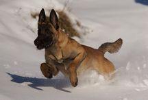 Chien  / Races de chiens.   Photos de chiens