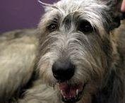 Ír farkaskutya /Irish wolfhound  An Mo / Irish wolfhound