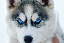 Szibériai husky AnMo / Husky