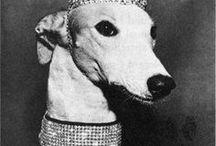 Greyhound (angol agár) AnMo / angol agár/agarak