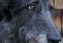 Skót szarvasagár AnMo / Skót szarvasagár