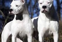 Argentin dog AnMo / Argentin dog