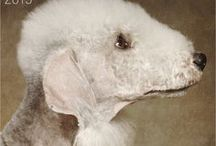 Bedlington terrier AnMo / Bedlington terrier