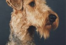 Airedale terrier AnMo / Airedale terrier