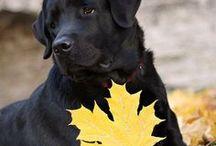 Labrador retriver AnMo / Labrador retriver