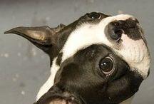 Boston terrier AnMo / Boston terrier