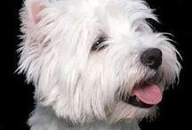 White highland west terrier AnMo / White highland west terrier