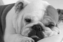English bulldog AnMo / Angol bulldog