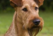 Irish terrier AnMo / Ír terrier