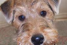 Welsh terrier AnMo / Welsh terrier