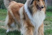 Collie AnMo / Collie