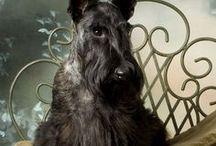Skót terrier AnMo / Skót terrier
