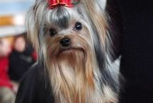Yorkshire Terrier AnMo / Yorkshire Terrier