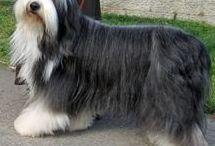 Bearded collie AnMo / Bearded collie (szőrzete gondos ápolást igényel)