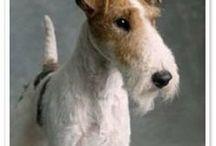 Wire Fox terrier AnMo / Fox terrier