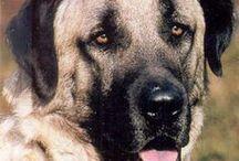 Kangal dog AnMo / Kangal  őrző-védő farkasölő