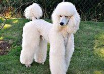 Pudles uszkár AnMo / Uszkár ( óriás, közép, mini és toy méretben léteznek) Rendszeres kutyakozmetikáztatást igénylő fajta.