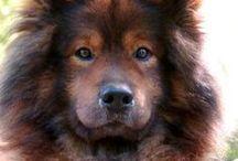 Eurasier dog AnMo / Eurasier dog