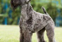 Kerry blue terrier AnMo / Kerry blue terrier