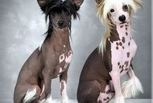 Kínai meztelen kutya (       AnMo / Kínai meztelen kutya