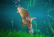 Platypus / by Alden