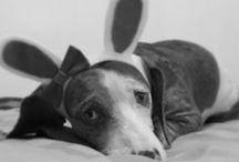 dachshunds S2