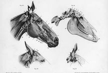 Horse drawing ref.