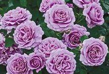Purple Roses 紫のバラ
