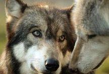 Loup =  Wolf