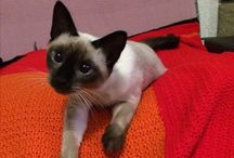 Rozinka / Thai cat