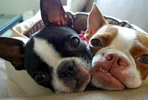 Boston Love! / The love of Boston Terriers of course!! / by Jenn Marcum