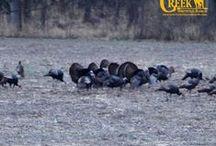 Eastern Wild Turkey / We have a nice sized flock of turkeys here on the ranch. #wildturkeys #gobblers www.oakcreekwhitetailranch.com