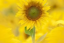 Mellow Yellow  / by Karen Jackson