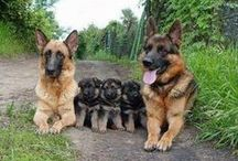 GSD love the puppies :)