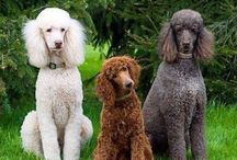 Standard Poodles ~Quotes,Gifts,Misc. / Poodle Lover Gifts,Quotes, and Misc. / by Debby Scheitler