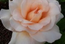 for the love of my rose garden
