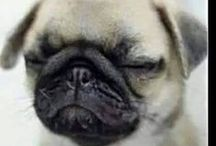 Pugs are the best... ♥ ♥ ♥ / about pugs