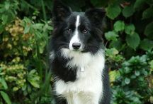 SuperdogBordercollie / If you know them ... You ll love them forever..