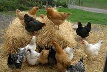 Chickens  etc / by Barbara Roy