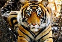 Big Cats / Wild big cats / by Barbara Roy