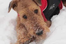 Airedales! / The Airedale Terrier is good with children and loves to play. Due to its bravery, it also makes for an excellent watchdog. The Airedale Terrier is known to be stubborn and have an affinity for chasing smaller animals. Therefore, proper training is essential.