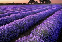 Lavender Fields / For the love of lavender fields. / by She E