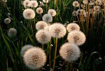 Everything Dandelions / by She E