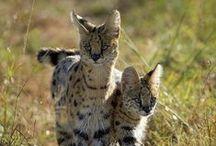 Amazing animals / Big cats, Lions, Leopard,